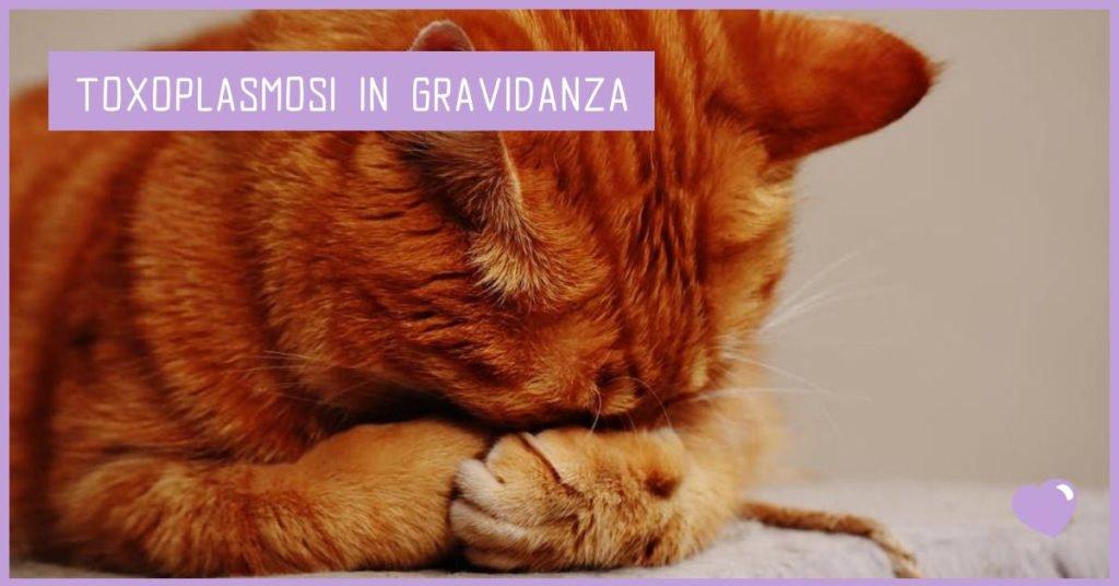 Toxoplasmosi in gravidanza: gatto rosso